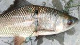 ময়মনসিংহে ৮ সেলাইযুক্ত রুইমাছ নিয়ে হৈচৈ