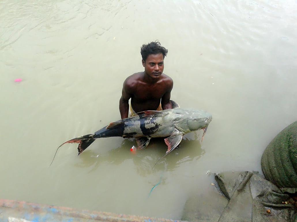 পদ্মায় ধরা পড়লো ২৫ কেজি ওজনের বাঘাইড় মাছ