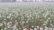 কুষ্টিয়ায় পেঁয়াজ বীজের বাম্পার ফলন ॥ হাসিমুখে আছে চাষীরা