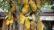 আটঘরিয়ায় কাঁঠাল গাছে বাম্পার মুচি