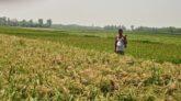 কিশোরগঞ্জে ইরি-বোরো ধানক্ষেতে নেক ব্লাস্ট রোগের আক্রমন কৃষক দিশেহারা