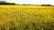 বরেন্দ্র অঞ্চল নাচোলে মাঠজোড়া সোনালী ধান আতংকে কৃষকের সোনালী স্বপ্ন