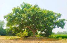 কালের বিবর্তনে হারানোর তালিকায় বট বৃক্ষ