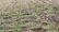 বেনাপোলে আগাম শুরু হয়েছে ধান কর্তন