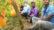 পাকুন্দিয়ায় জমিতে হলুদ রঙের তরমুজ চাষ