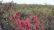 মরিচের ফলন ভালো হলেও ন্যায্য মুল্য পাচ্ছে না কৃষকরা