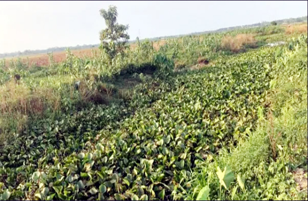 কোদালীছড়ায় কচুরীপানার কারণে মৌলভীবাজার জলাবদ্ধতা