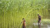 নানান সমস্যায় ভুগছে ফরিদপুরের পাট চাষীরা