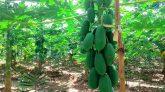 ভালুকায় পেপে চাষে তুহিন এখন এলাকার মডেল