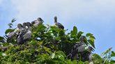 বগুড়ার শেরপুরের রামনগর চলছে পাখি ও মানুষের এই মিতালী